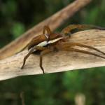 Kraamwebspinnen en Visserspinnen