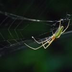 Strekspinnen