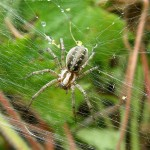 Agelena  labyrinthica  (Clerck, 1757 ) - Gewone labyrinthspin © MH