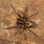 Amaurobius  similis  (Blackwall, 1861) - Muurkaardespin © GL