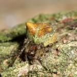 Gibbaranea  gibbosa  (Walckenaer, 1802 ) - Boomknobbelspin © GL