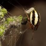 Hypsosinga  pygmaea  (Sundevall, 1831 ) - Graspyjamaspin © GL